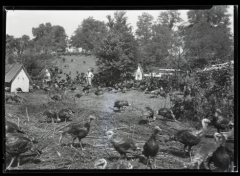 History Mystery: Turkeys of Kentucky